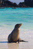 Sea Lion. A sea lion in front of some beautiful water Stock Photos