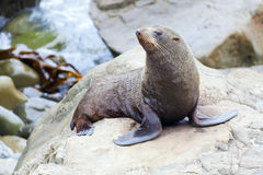 Sea Lion. A Hooker's Seal Lion resting on a rock on the New Zealand coast Royalty Free Stock Images