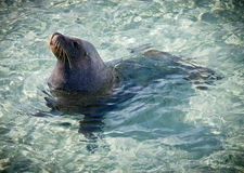 Sea Lion. Sammy the Sea Lion. Wild Sea Lion which comes ashore everyday in Esperance, Western Australia stock image