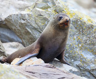 Sea Lion. A Hooker's Seal Lion resting on a rock on the New Zealand coast Stock Photo
