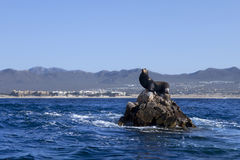 Sea Lion. Male sea lion on rocks in the middle of the ocean, with Cabo San Lucas in the background. King of the hill Royalty Free Stock Photos