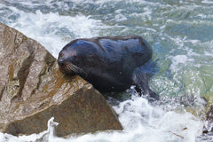 Sea Lion. A Hooker\'s Seal Lion resting on a rock on the New Zealand coast Stock Images