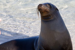 Sea Lion. On beach in Galapagos Islands stock image