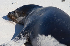Sea Lion. On beach in Galapagos Islands stock images