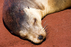 Sea Lion. Relaxing on the beach in the Galapagos Islands Ecuador stock images