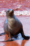 Sea Lion. Coming out of the sea in the Galapagos Islands Ecuador stock images