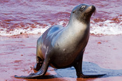 Sea Lion. Coming out of the sea in the Galapagos Islands Ecuador stock image