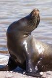 Sea Lion Stock Images