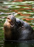Sea Lion. Southern Sea Lion emerging from water Stock Photography