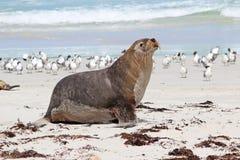 Sea lion. Australian sea lion at Kangaroo Island, Australia Stock Images