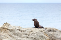 Sea Lion. A Hooker's Seal Lion resting on a rock on the New Zealand coast Stock Photos