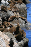 Sea Lion. On the Pacific Ocean in Monterey California Stock Image