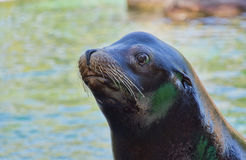 Sea Lion Stock Photography