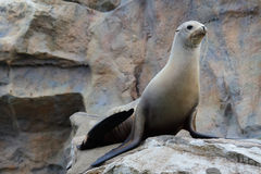 Sea Lion. In the habitat Royalty Free Stock Photos