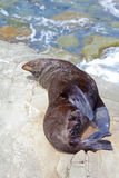 Sea Lion. A Hooker's Seal Lion sunbathing on a rock on the New Zealand coast Royalty Free Stock Photography