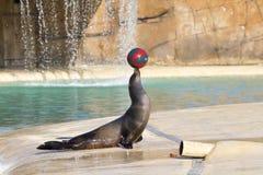 Free Sea Lion Royalty Free Stock Photo - 31381605