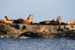 Sea lion. Marine sea lion on a rock in the ocean Stock Photography