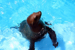 Sea Lion. A sea lion comes up for food Stock Photo