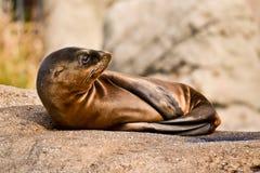 Free Sea Lion Stock Photography - 35260102