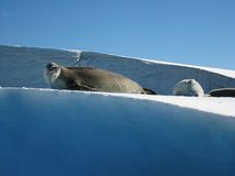 Sea lion. On top of ice rocks, Vernadsky, Antarctica Stock Photography