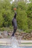 Sea-lion Στοκ εικόνες με δικαίωμα ελεύθερης χρήσης