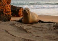 Sea Lion. On beach in Malibu, California Royalty Free Stock Image