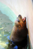 Sea lion. Latin name zalophus californianus stretching out of the water Royalty Free Stock Photos