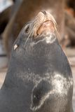 Sea Lion  5 Royalty Free Stock Photos
