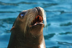 Sea Lion. Head of sea lion in water background Royalty Free Stock Images