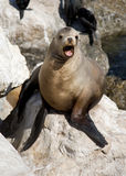 Sea Lion. Close up of California Sea Lion at Monterrey Bay, California stock image