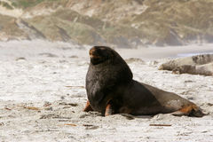 Sea lion, Royalty Free Stock Images