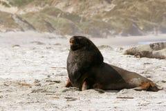 Sea lion,. Sand fly bay, Otago Peninsula, Dunedin, south island, New Zealand Royalty Free Stock Images