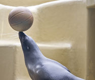 Sea lion. With ball during show Royalty Free Stock Images