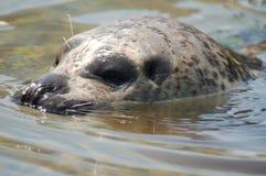 Sea Lion. A swimming sea lion (close-up stock image