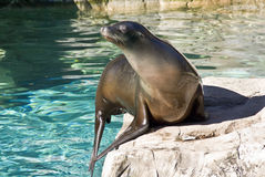 Sea Lion. Captured on a large boulder stock photos