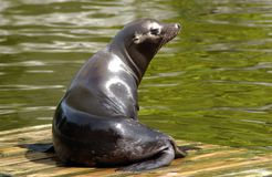 Sea Lion. A sea lion sat on a piece of wood in the water stock photo