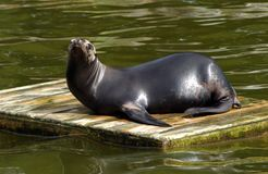 Sea Lion. A sea Lion sat on a piece of wood in the water Royalty Free Stock Images