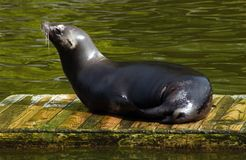 Sea Lion. Sat on a piece of wood in the water royalty free stock image