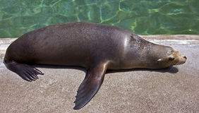 Sea-lion 8 Stock Photography