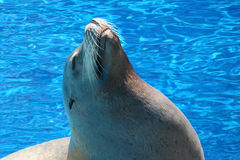 Free Sea Lion Stock Image - 846171