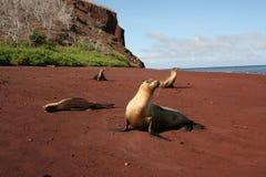 Sea Lion. On red Galapagos Island beach Stock Photos