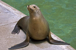Sea-lion 9 Royalty Free Stock Photo