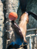Sea-lion Acrobat Royalty Free Stock Images