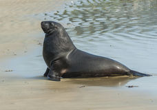 Sea Lion. Adult New Zealand sea lion Phocarctos hookeri on the Curio Bay beach as it is comming from the sea, Southland - New Zealand Stock Photos