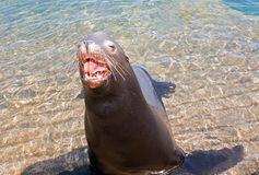 Sea Lion aggressively opening mouth in Cabo San Lucas Mexico BCS Royalty Free Stock Image