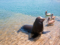 Free Sea Lion And 3 Pelicans On The Marina Boat Launch In Cabo San Lucas Mexico Royalty Free Stock Images - 94330349