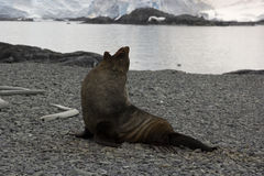 Sea lion in Antarctica. Posing sea lion on the beach in Antarctica stock images
