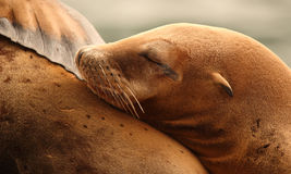 Sea Lion Asleep on Mother. A California Sea Lion asleep against its mother along the Pacific Ocean Royalty Free Stock Photos