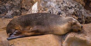 Sea lion. Australian sea lion sleeping on rocks Royalty Free Stock Photo