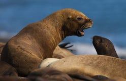 Sea Lion baby. Peninsula de Valdes stock photo